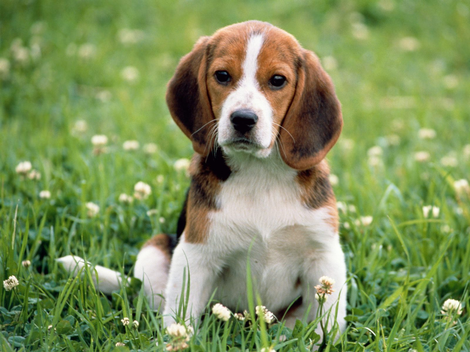 Kerry Beagle Dog: Kerry Kerry Beagle Dog In Flowers Breed