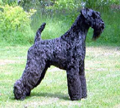 Kerry Blue Terrier Puppies: Kerry Kerry Blue Terrier Breed