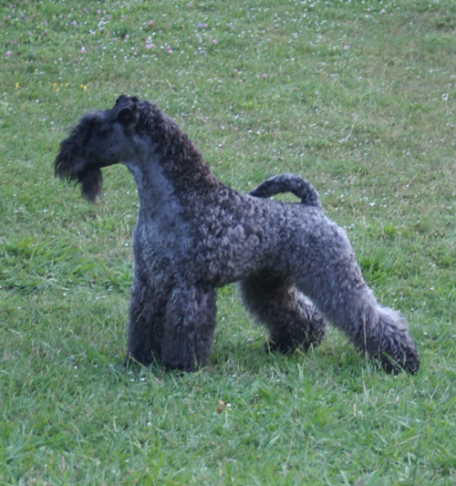 Kerry Blue Terrier Dog: Kerry Kerry Blue Terrier Dog Breed
