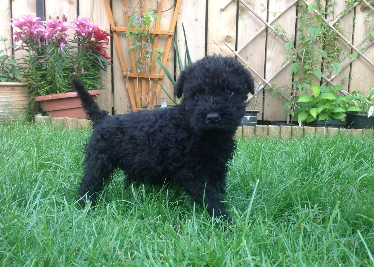 Kerry Blue Terrier Puppies: Kerry Kerry Blue Terrier Ferryhill Breed