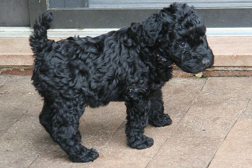Kerry Blue Terrier Puppies: Kerry Kerry Blue Terrier Gallery Pictures Of Kerry Blue Terriers Breed