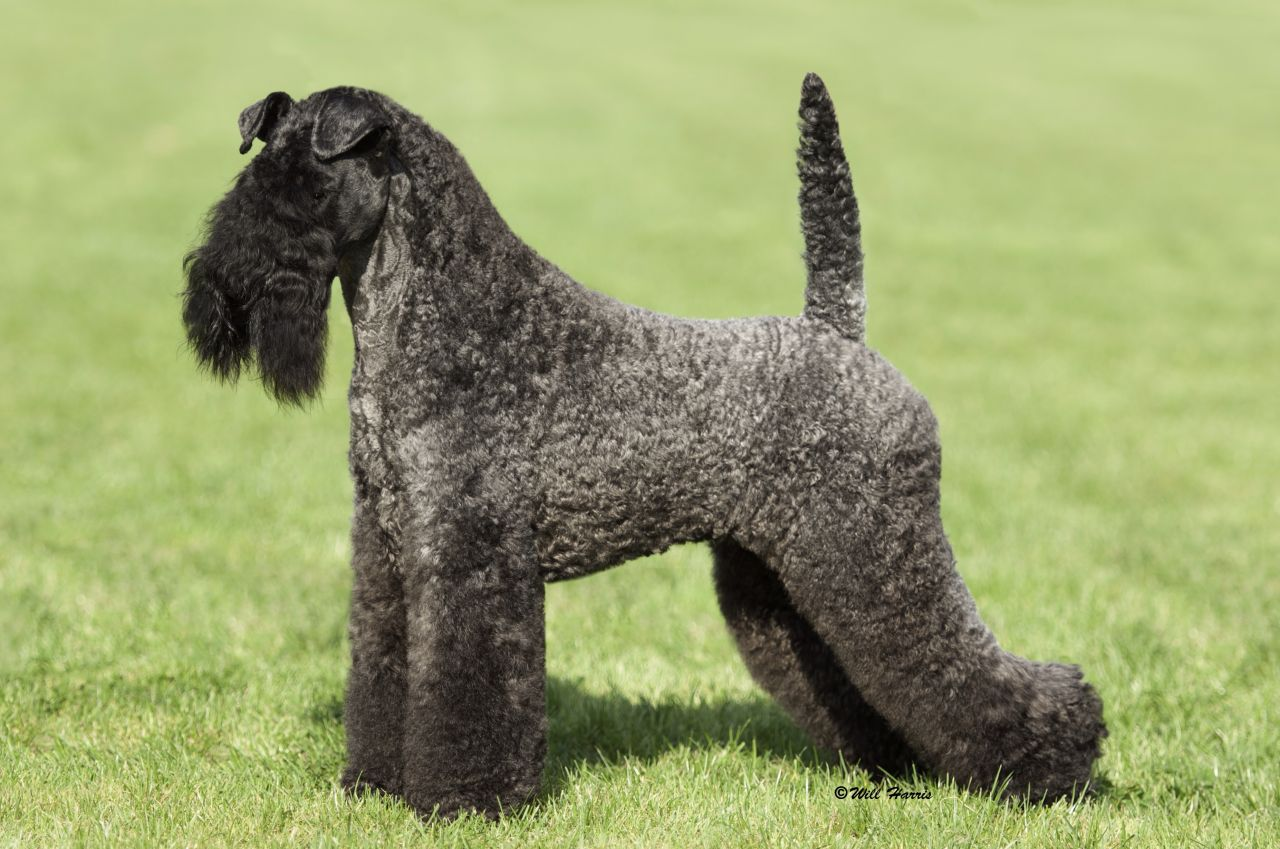 Kerry Blue Terrier Puppies: Kerry Kerry Blue Terrier Puppies For Sale Ipswich Breed