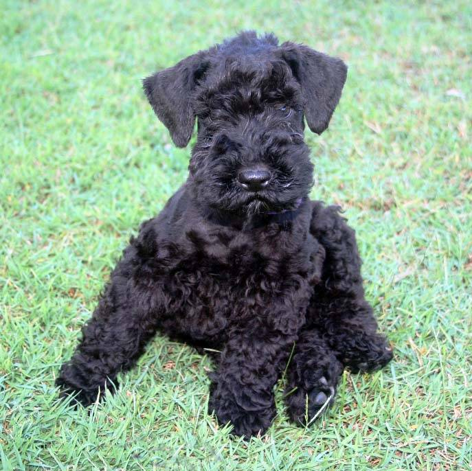 Kerry Blue Terrier Puppies: Kerry Olizure Puppy Pics Breed