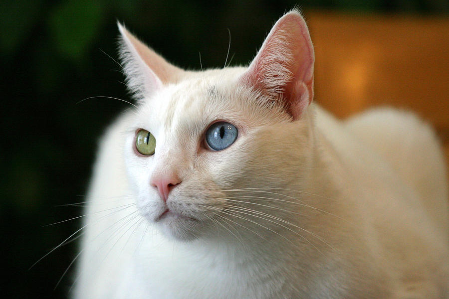 Khao Manee Cat: Khao Khao Manee Cat Breed