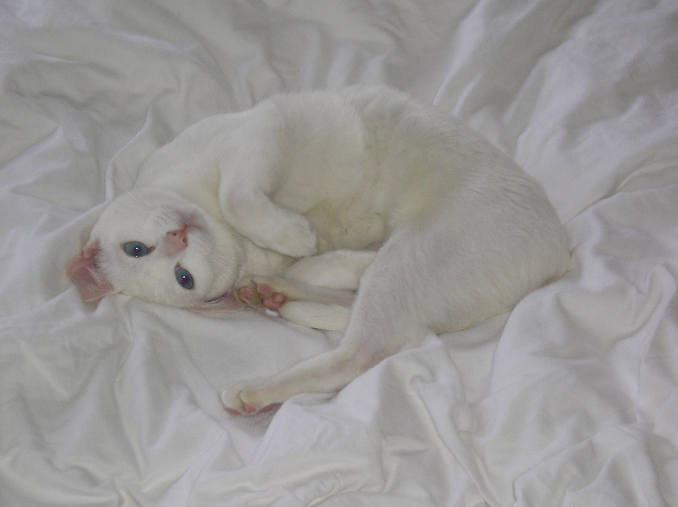 Khao Manee Kitten: Khao Khao Manee Kitten On The Bed Breed