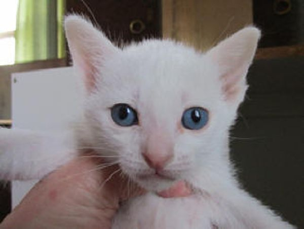 Khao Manee Kitten: Khao Khao Manee Pedigree Kittens For Sale Breed