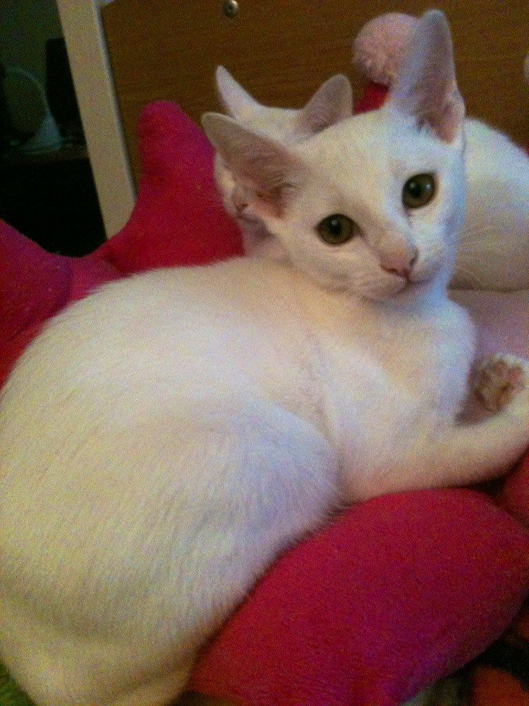 Khao Manee Kitten: Khao Registered Pedigree Burmese X Khao Manee Kitten Eastleigh Breed