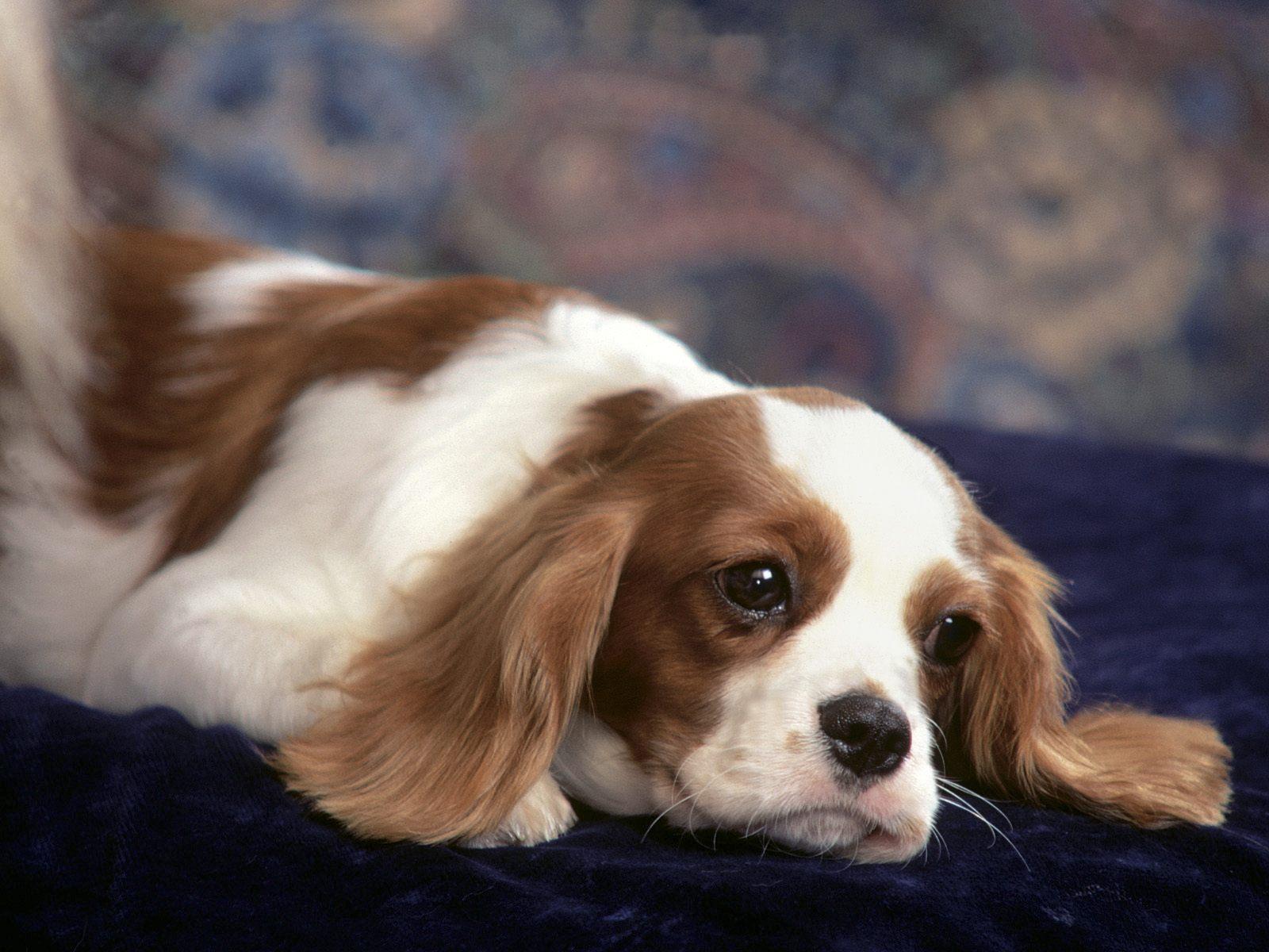 King Charles Spaniel Dog: King Beautiful King Charles Spaniel Dog Breed