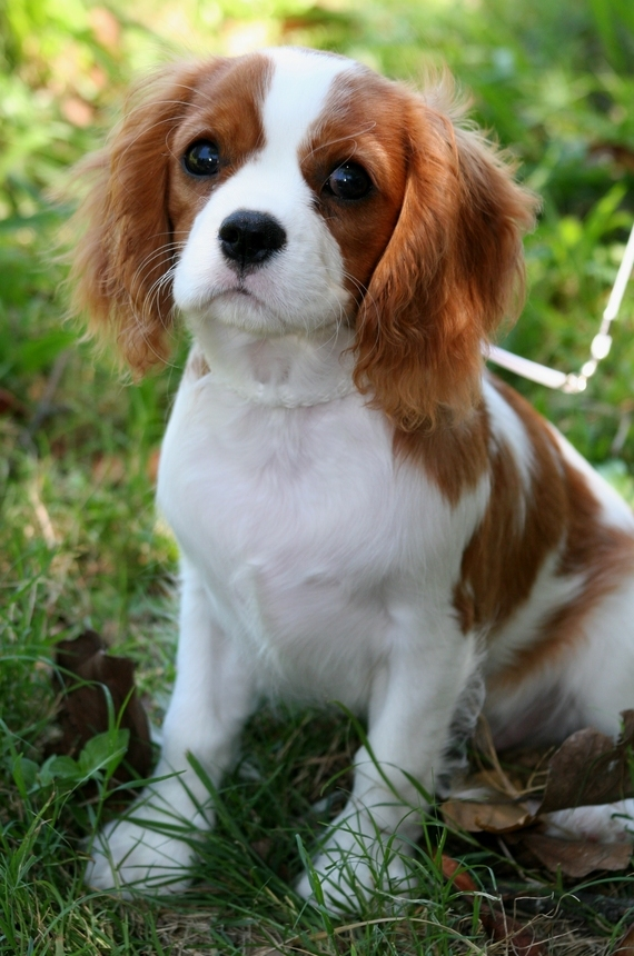 King Charles Spaniel Dog: King Cavalier King Charles Spaniel Breed