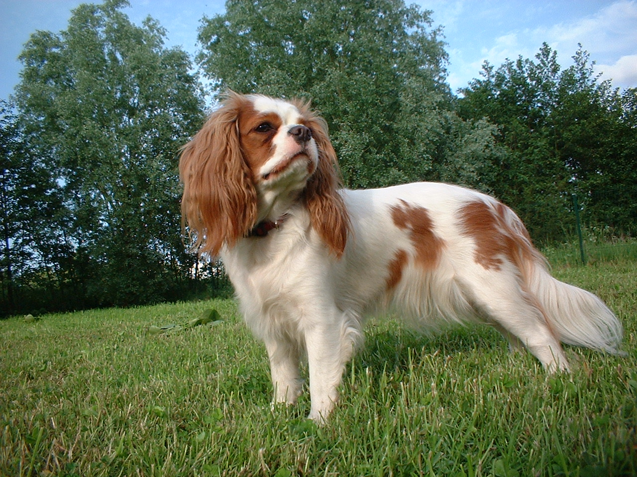 King Charles Spaniel Puppies: King Cavalier King Charles Spaniel Dog Breed