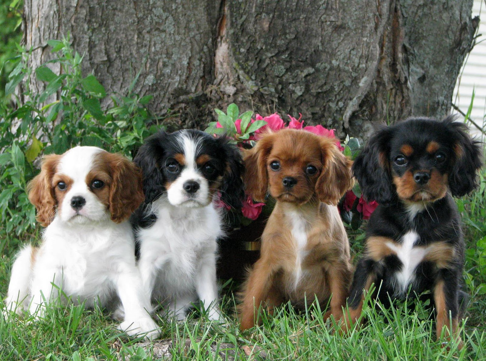 King Charles Spaniel Puppies: King Cavalier King Charles Spaniel Puppies Breed