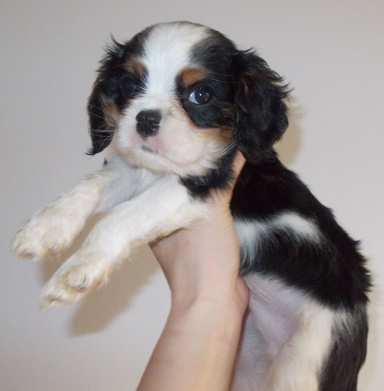 King Charles Spaniel Puppies: King Cavalier King Charles Spaniel Puppies Ready July Bromsgrove Breed
