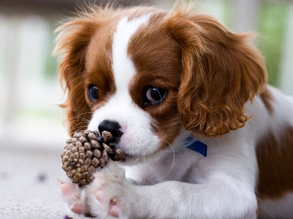 King Charles Spaniel Puppies: King Cavalierkingcharlesspanielpuppy Breed