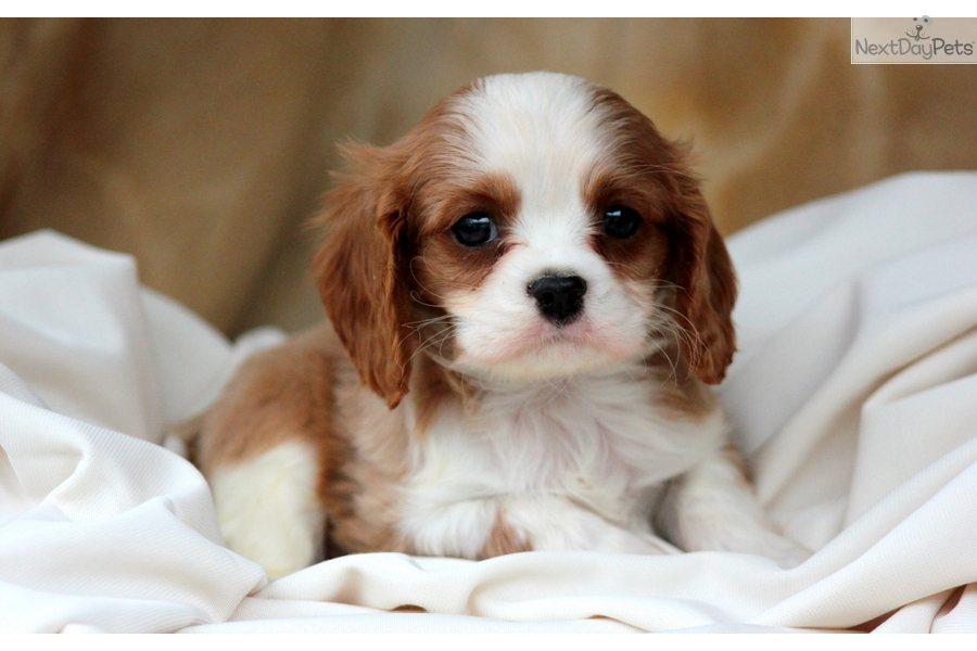 King Charles Spaniel Puppies: King Ed Ab Breed