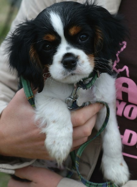 King Charles Spaniel Puppies: King En I Offer I Id I I Akc Cavalier King Charles Spaniel Puppies King Chares Breed