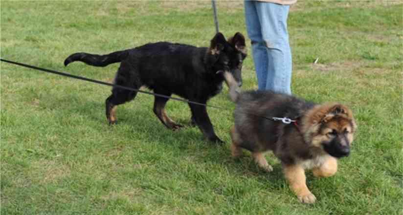 King Shepherd Puppies: King Extravaganzaarchives Breed