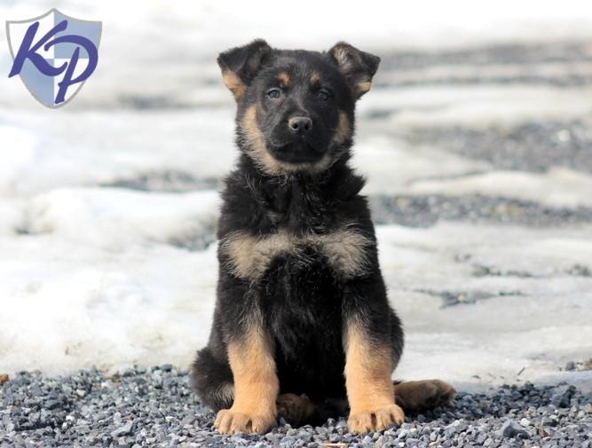 King Shepherd Puppies: King King Breed