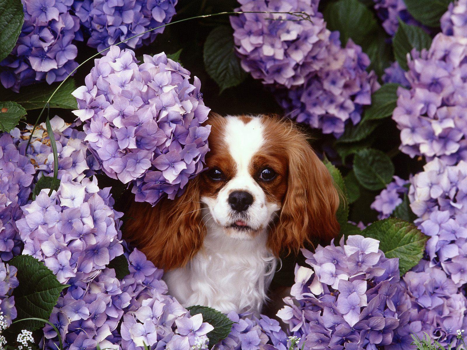 King Charles Spaniel Dog: King King Charles Spaniel Dog In Flowers Breed
