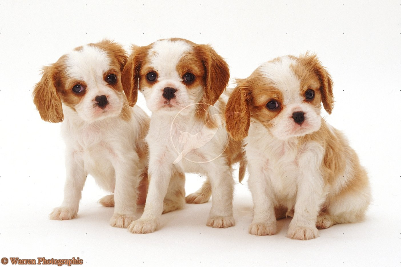 King Charles Spaniel Puppies: King King Charles Spaniel Puppies Breed