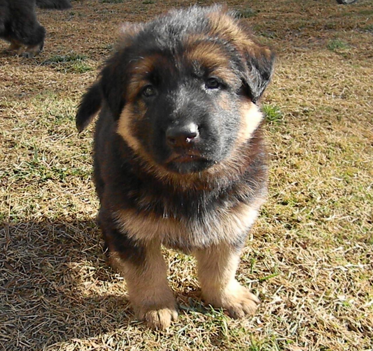 King Shepherd Puppies: King King Shepherd Puppies Breed