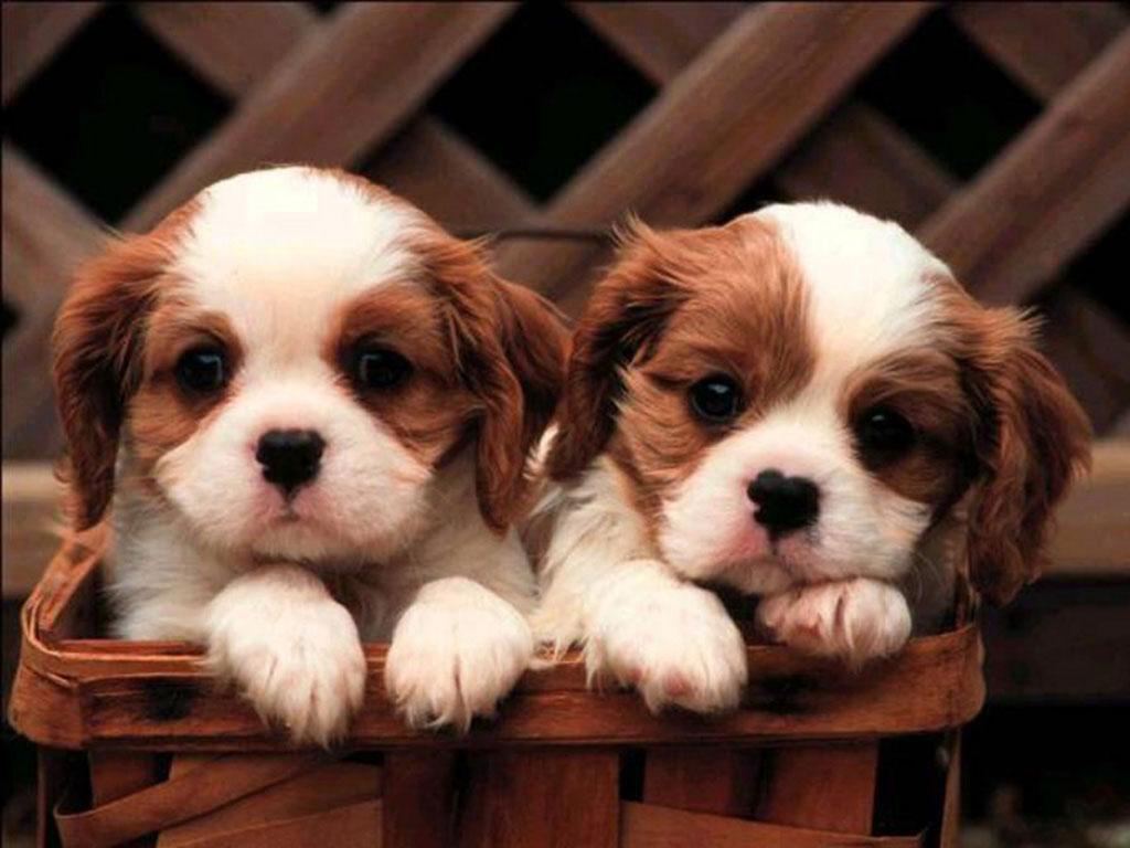 King Charles Spaniel Dog: King Lovely King Charles Spaniel Dogs Breed