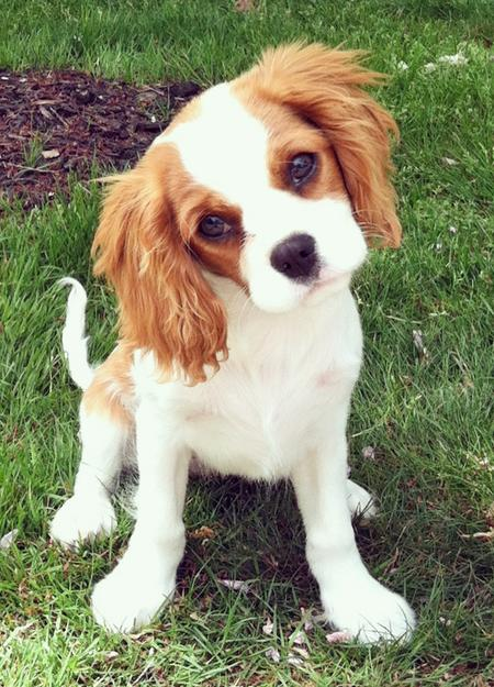 King Charles Spaniel Puppies: King Rory The Cavalier King Charles Spaniel Breed
