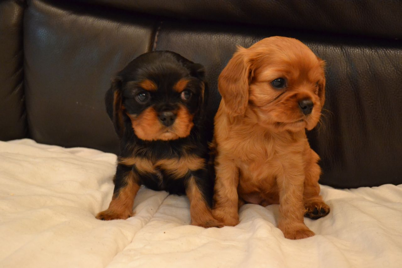 King Charles Spaniel Puppies: King Ruby Cavalier King Charles Spaniel Puppies Breed