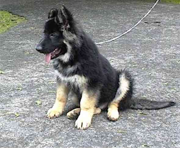 King Shepherd Dog: King Shepherd Dog Black Breed
