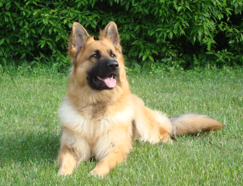King Shepherd Dog: King Showflat Breed