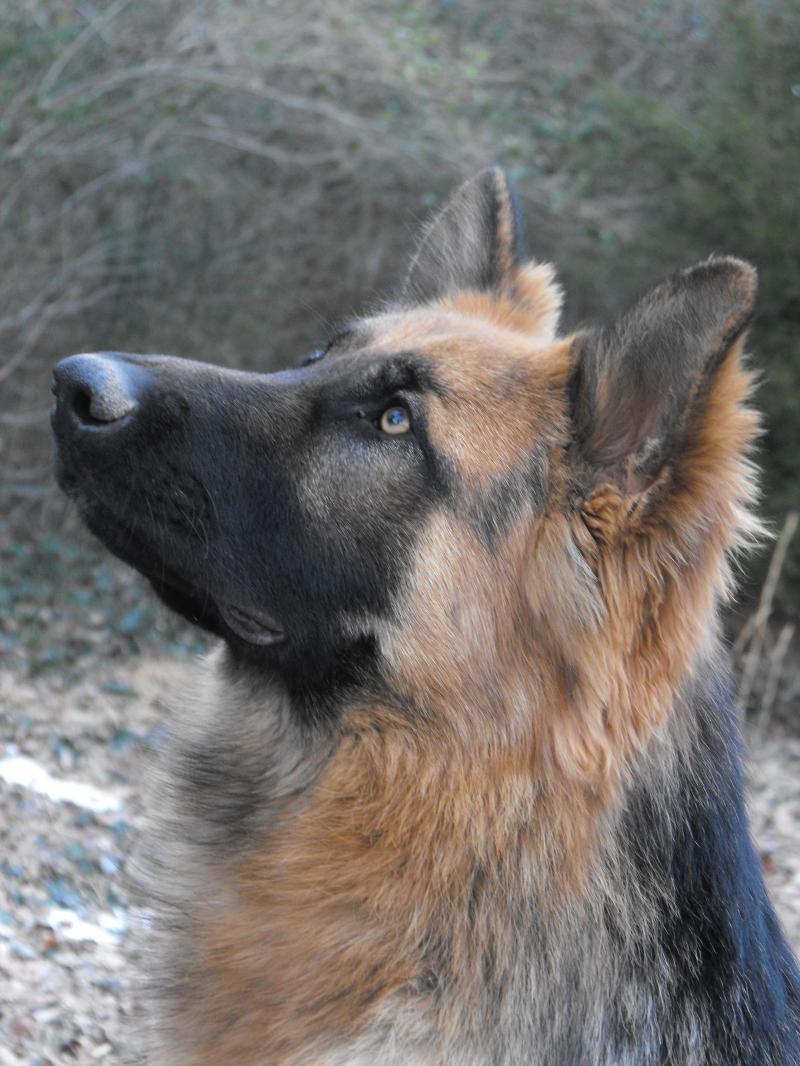 King Shepherd Dog: King Training Your King Shepherd To Listen Breed