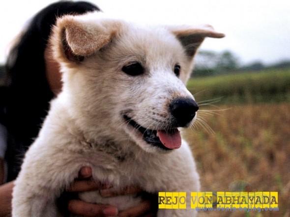 Kintamani Puppies: Kintamani Dunia Anjing Breed