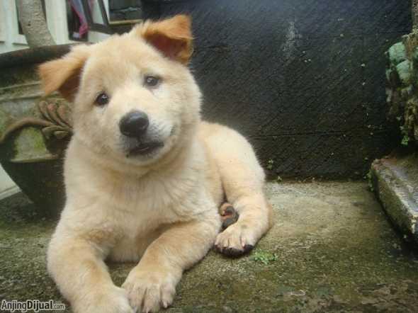 Kintamani Puppies: Kintamani Jual Anjing Kintamani Puppies Show Pet Quality Prospect Breed