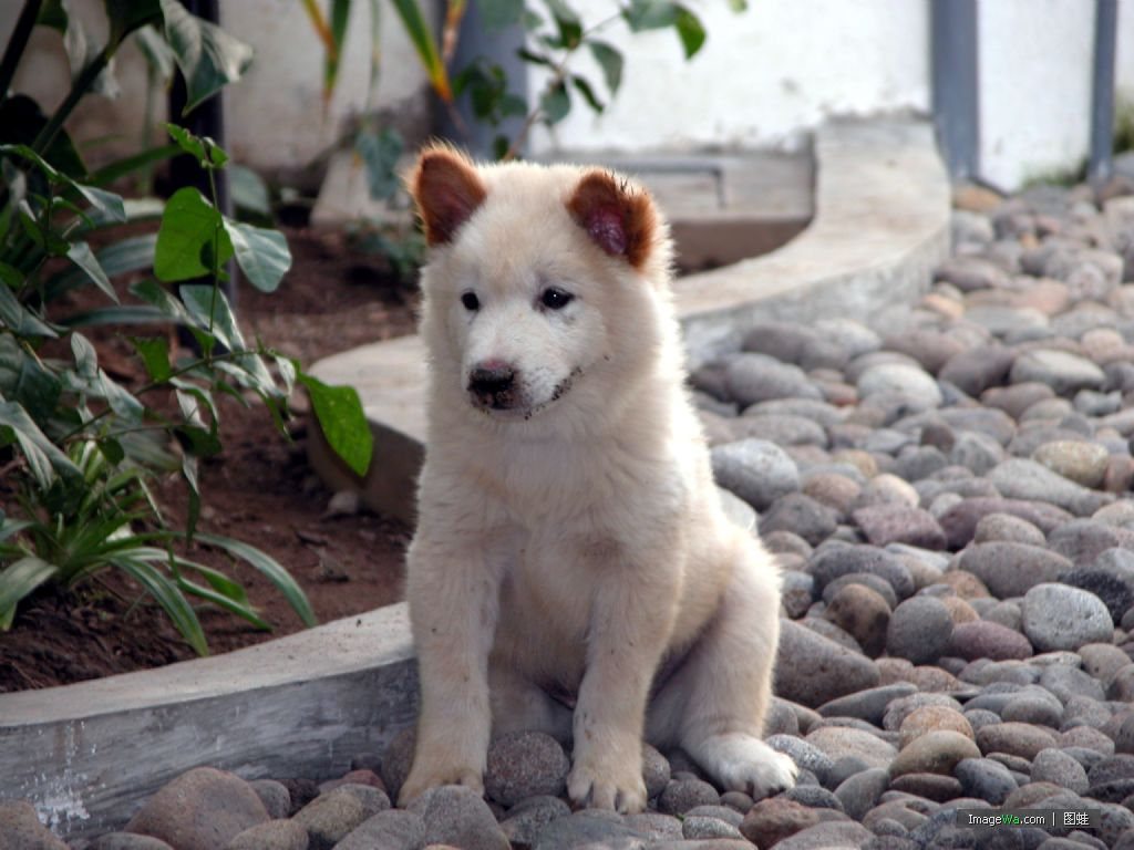 Kintamani Puppies: Kintamani Karakachan Bear Dog Puppies Breed