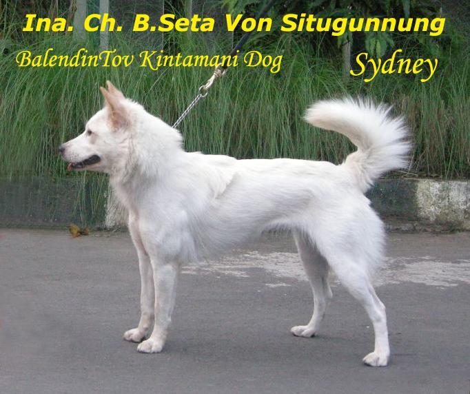 Kintamani Dog: Kintamani Kintamanis Breed