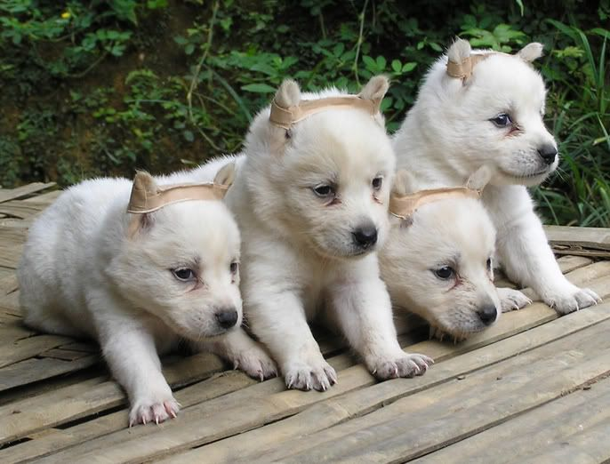 Kintamani Puppies: Kintamani Picture Of Array Dog Training Home Dog Types Bohemian Shepherd Dog Breed