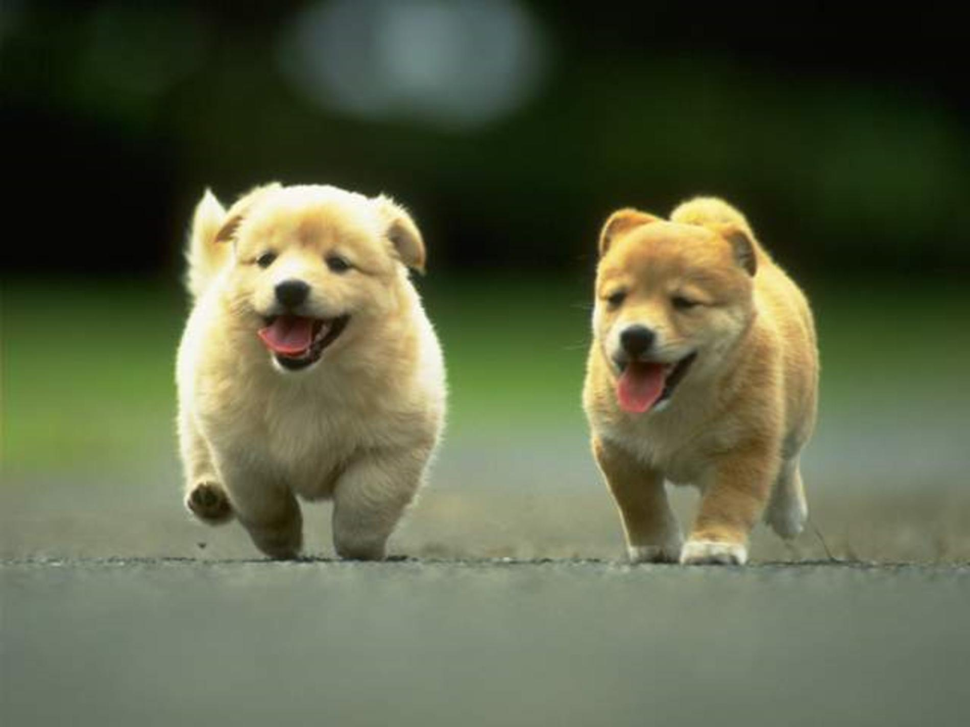 Kintamani Puppies: Kintamani Running Kintamani Puppies Breed