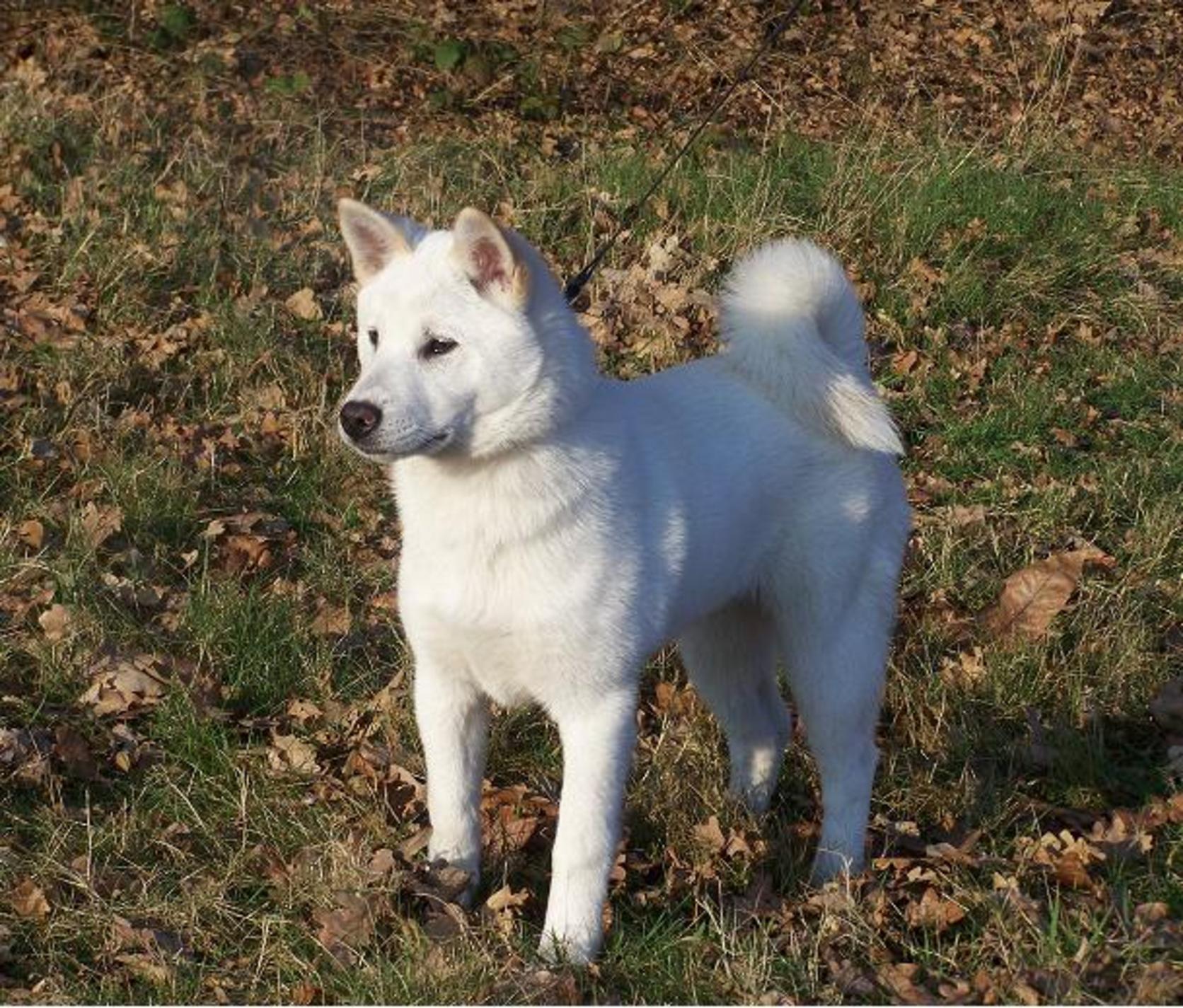 Kishu Ken Dog: Kishu Beautiful Kishu Dog Breed
