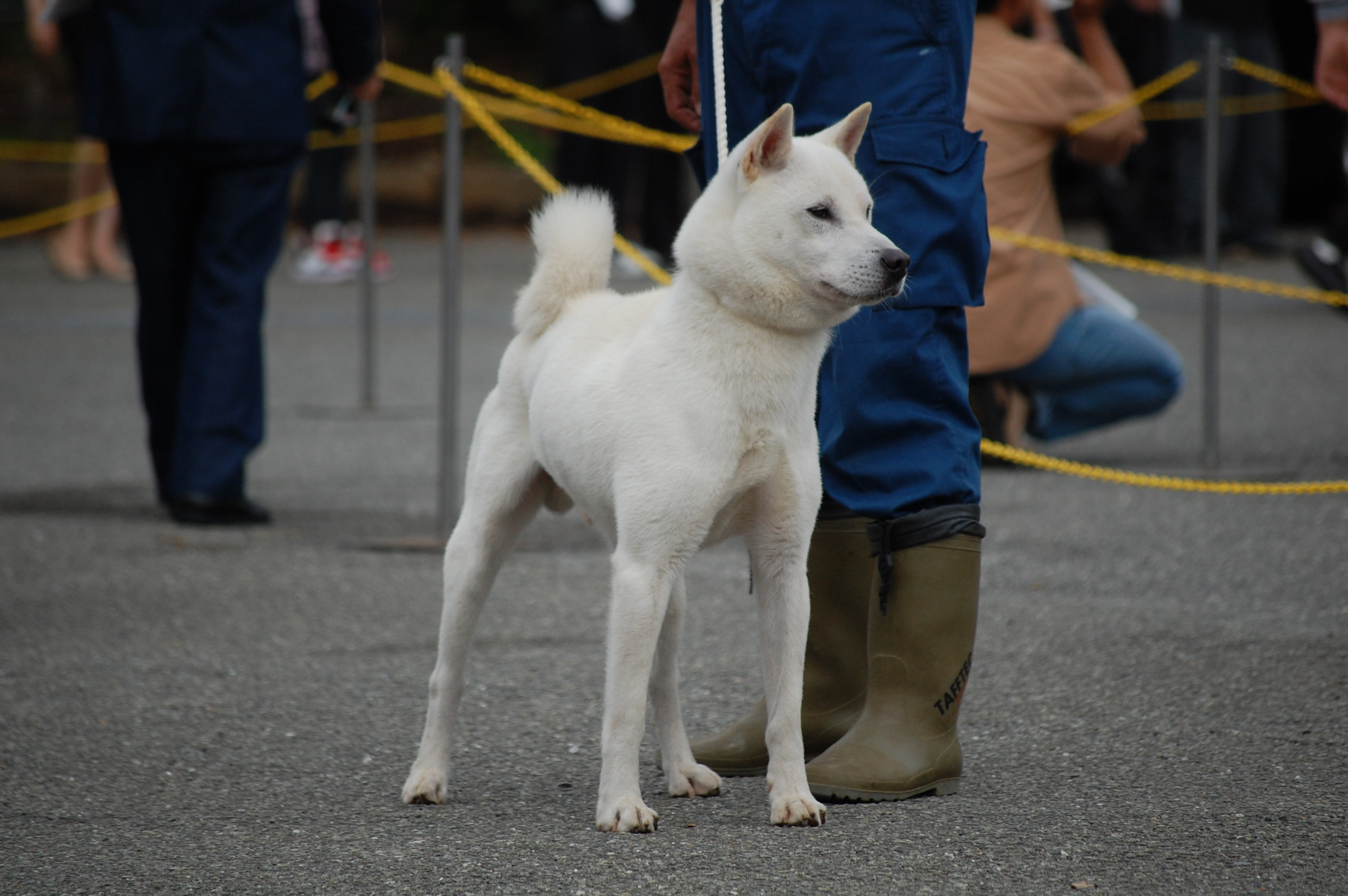 Kishu Ken Dog: Kishu Dsc Breed