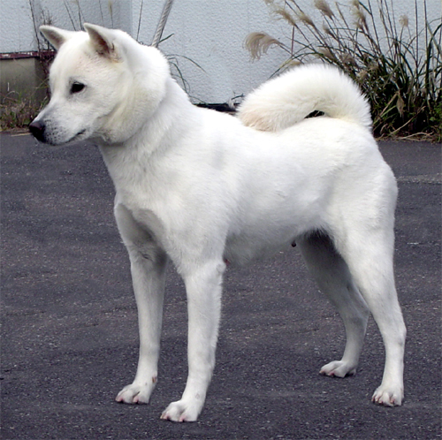 Kishu Ken Puppies: Kishu Featuring May S Rare Breed Of The Month