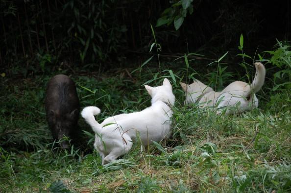 Kishu Ken Puppies: Kishu Japanese Kishu Dog Breed