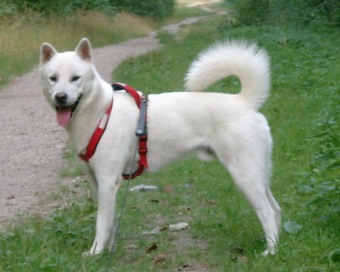 Kishu Ken Puppies: Kishu Kishu Dog Breed