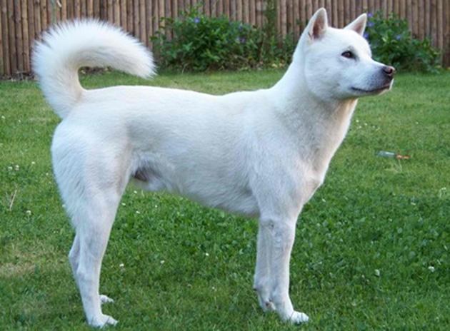 Kishu Ken Dog: Kishu Kishu Ken Dog Breed