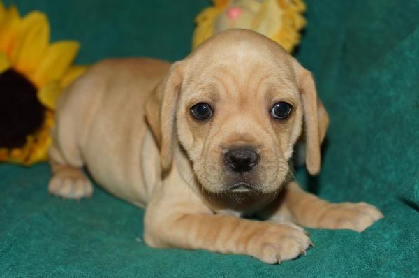 Kishu Ken Puppies: Kishu Kishu Ken Puppies For Sale Puppy Breeders