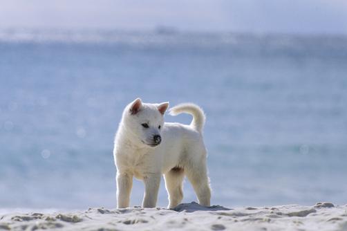 Kishu Ken Puppies: Kishu Kishu Puppy Breed