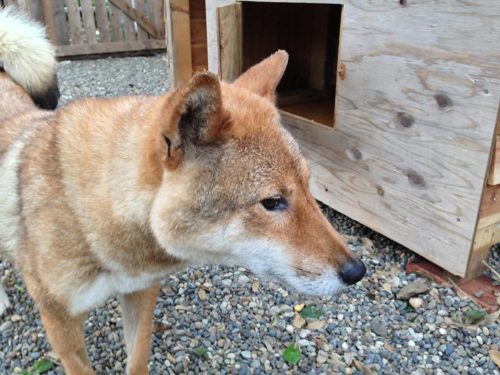 Kishu Ken Puppies: Kishu Kishu X Shikoku Breed