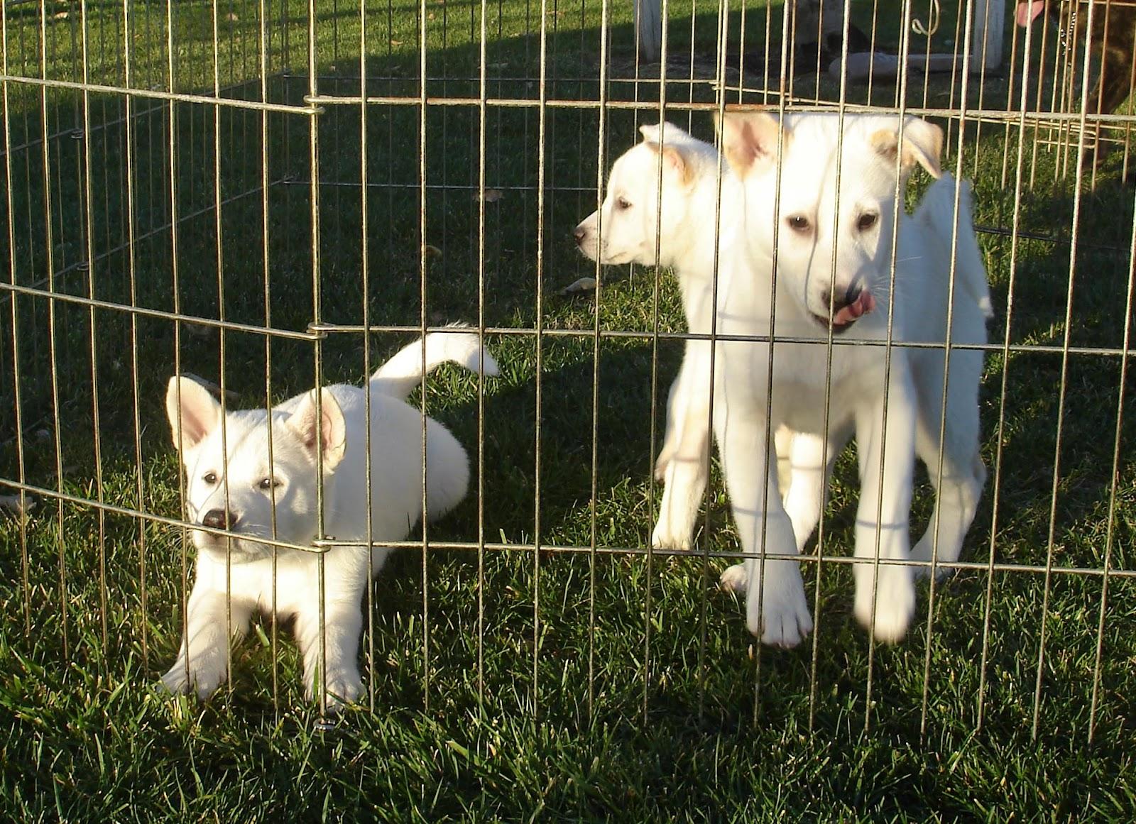 Kishu Ken Puppies: Kishu Nihon Ken Japanese Native Dog Meet Up Breed