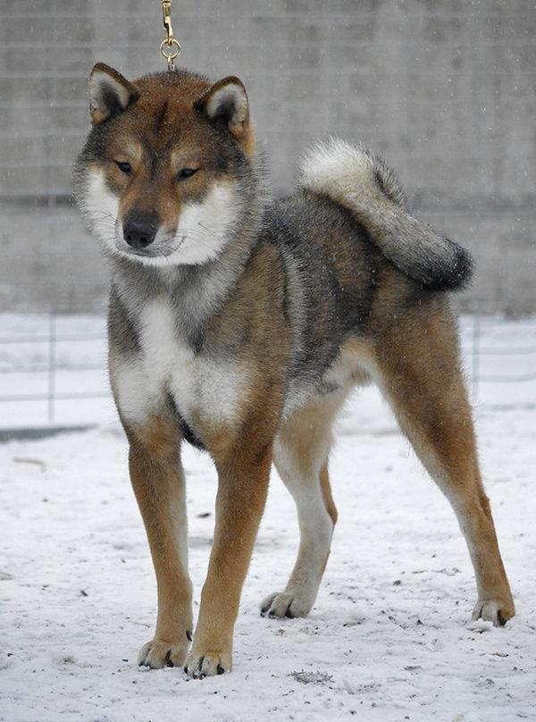 Kishu Ken Dog: Kishu Top Ten Rare Dog Breeds
