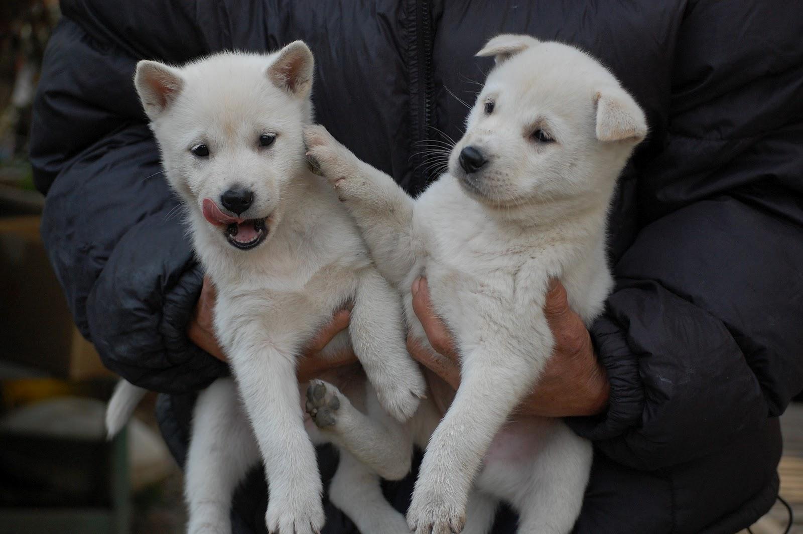 Kishu Ken Puppies: Kishu Two Cute Kishu Puppies Breed