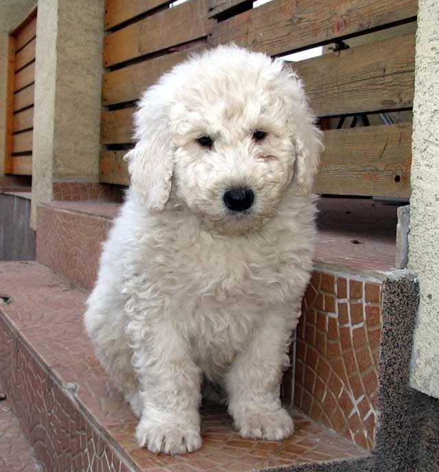 Komondor Puppies: Komondor Breed