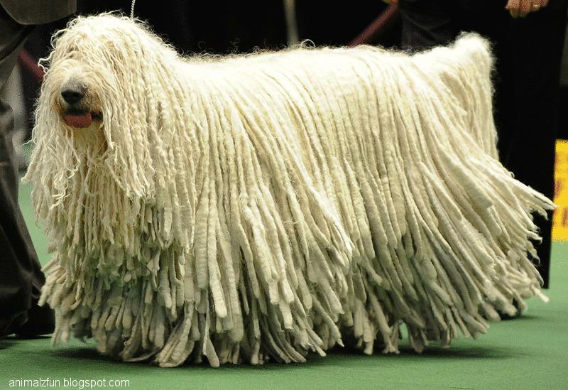 Komondor Dog: Komondor Komondor Dog Breed